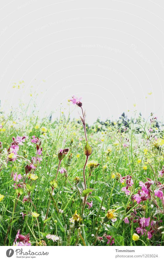 Irgendwo im Allgäu (4). Umwelt Natur Pflanze Himmel Blume Gras Blüte Wiese Hügel Blühend Wachstum gelb grün violett Gefühle Lebensfreude Farbfoto mehrfarbig