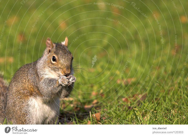 B-Hörnchen Tier Gras klein sitzen Wildtier Pause niedlich Fressen Säugetier Futter Eichhörnchen hocken gehorsam