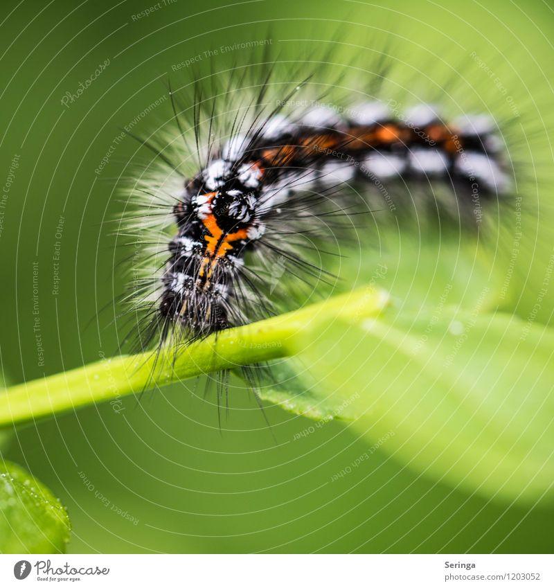 Was für ein Spinner Tier Wildtier Schmetterling Wurm Tiergesicht 1 ästhetisch authentisch elegant hässlich Raupe Farbfoto mehrfarbig Außenaufnahme Nahaufnahme