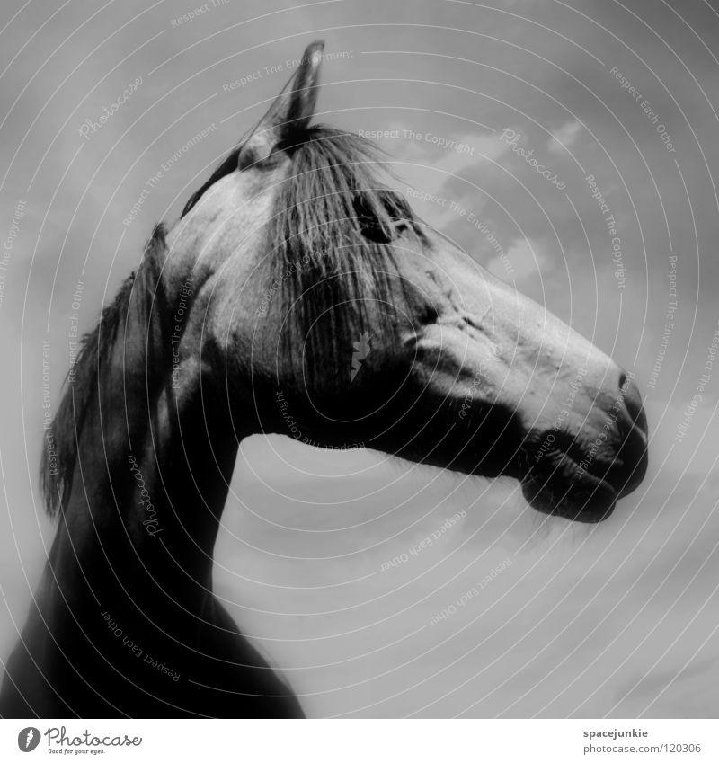 Celestino Natur Himmel Tier Wiese Gras elegant Pferd Fell Weide Säugetier Maul Mähne