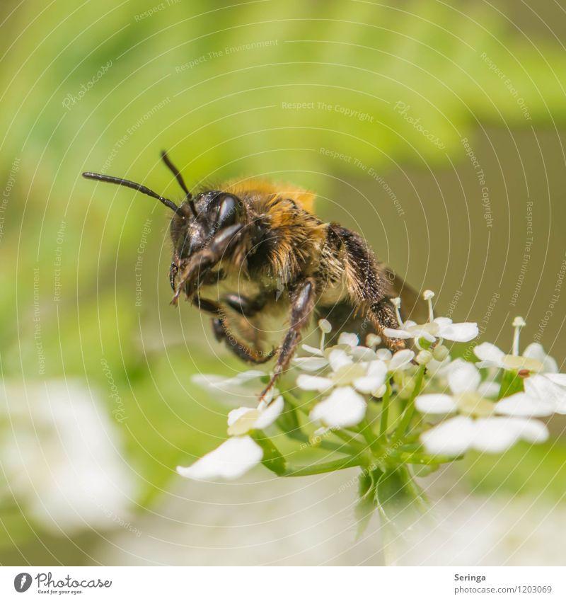 Wildbiene Umwelt Natur Pflanze Tier Luft Sonne Sonnenlicht Baum Blume Gras Blüte Grünpflanze Wildpflanze Garten Wiese Wald Biene 1 exotisch Farbfoto