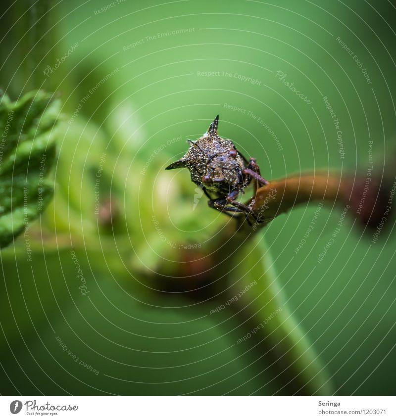 Kleiner Dino ( Dornzikade ) Tier Käfer 1 Blühend fliegen Farbfoto Gedeckte Farben mehrfarbig Außenaufnahme Nahaufnahme Detailaufnahme Makroaufnahme