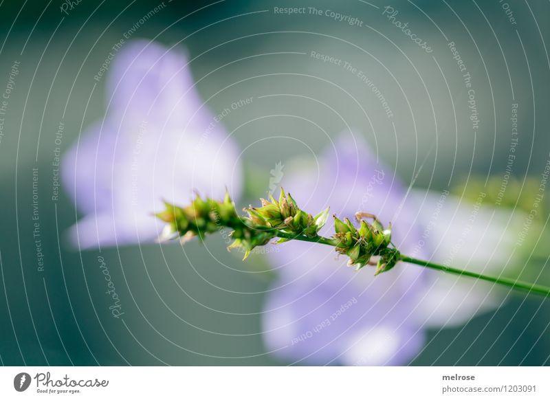 grün-violett elegant Stil Design Freizeit & Hobby Natur Sommer Pflanze Blume Gras Blüte Glockenblume Gräserblüte Garten Hintergrundbild Blühend Erholung