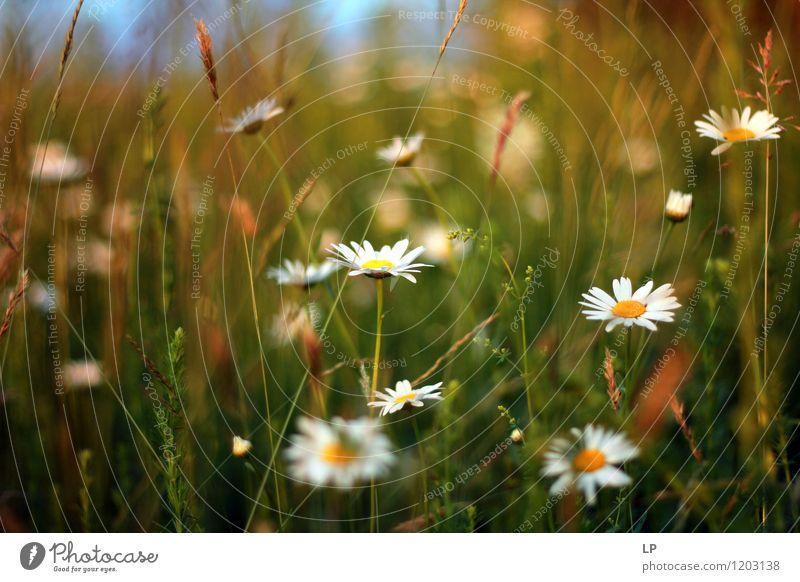 Gänseblümchen Umwelt Natur Landschaft Pflanze Urelemente Luft Frühling Sommer Blume Gras Blatt Wildpflanze Garten Park Wiese Feld Blühend frisch mehrfarbig gelb