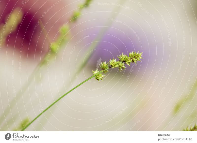 Gartengewächs elegant Stil Design Natur Sonne Sommer Schönes Wetter Pflanze Gras Gräserblüte Ziergras Farbfleck Blühend Erholung genießen hängen leuchten