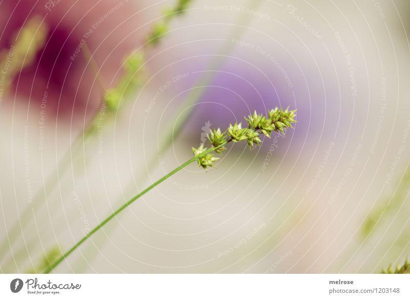 Gartengewächs Natur Stadt Pflanze schön grün Sommer Sonne Erholung natürlich Gras Stil braun Stimmung träumen Design