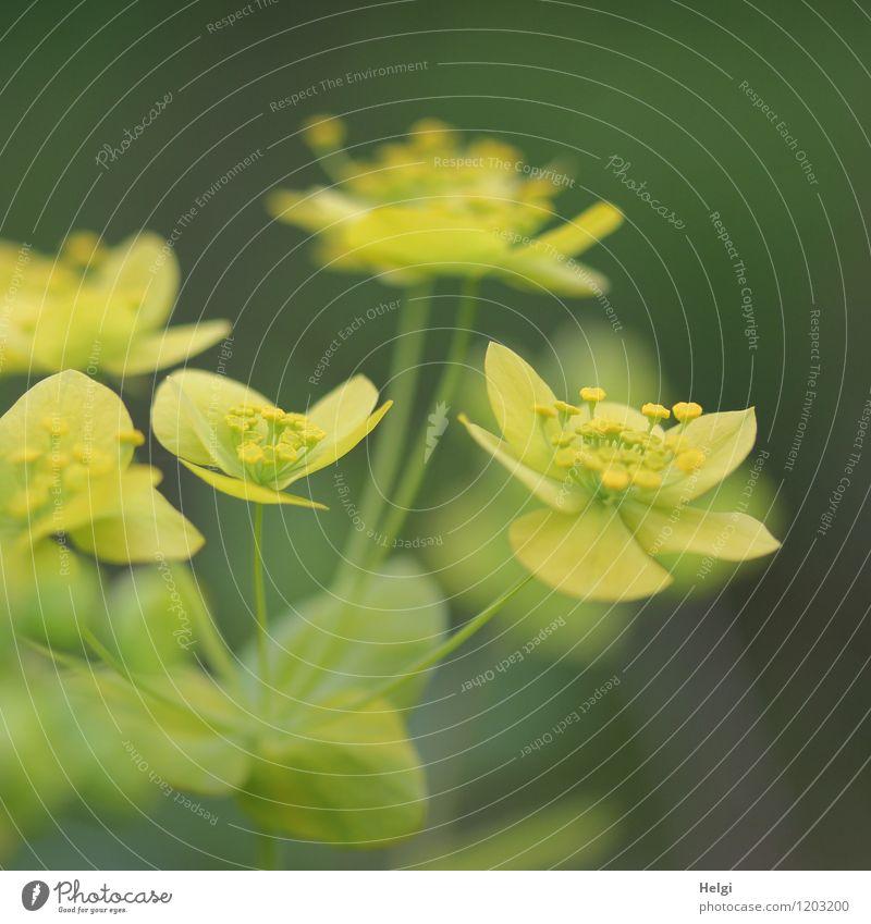 Wolfsmilchgewächs Umwelt Natur Pflanze Frühling Blume Blatt Blüte Wolfsmilchgewächse Park Blühend Wachstum ästhetisch schön natürlich gelb grau grün Farbfoto