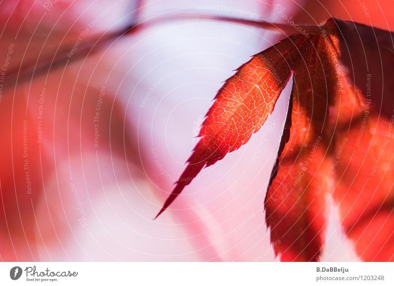 Lebenslinien Garten Natur Pflanze Baum Blatt ästhetisch Wärme rot authentisch Zufriedenheit Ahorn Ahornblatt natürlich rosa Blattadern ruhig schön Unschärfe