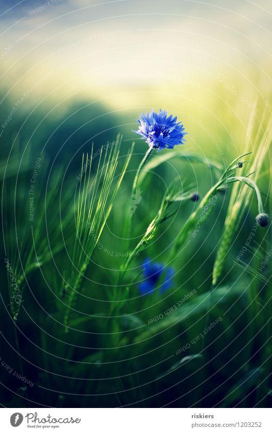 kornblumenblau Umwelt Natur Pflanze Sonne Frühling Sommer Schönes Wetter Blume Kornblume Feld Blühend frisch schön wild grün Farbfoto Außenaufnahme Menschenleer