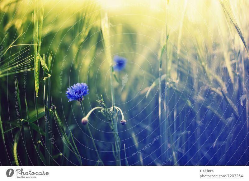 kornblumenblau ii Umwelt Natur Landschaft Pflanze Sommer Schönes Wetter Feld Kornblume Blühend leuchten frisch Farbfoto Außenaufnahme Menschenleer Tag Abend