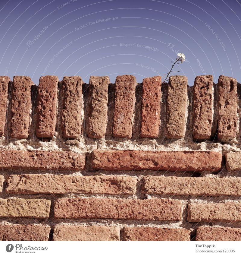 Mauerblümchen, obviously Himmel blau Pflanze Blume Einsamkeit Wand Stein Horizont Hoffnung Backstein zart Barriere Fuge blockieren schließen