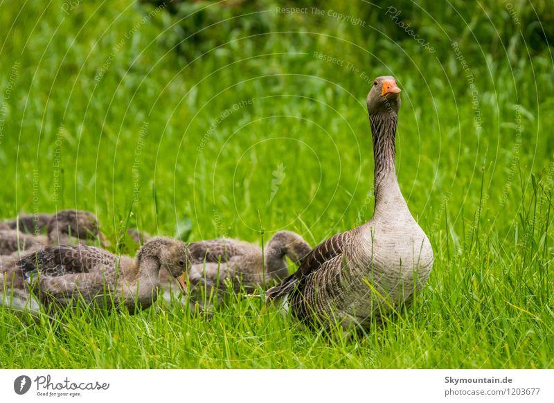 Familie Graugans Umwelt Natur Landschaft Pflanze Tier Frühling Sommer Gras Wiese Feld Wald See Bach Fluss Wildtier Vogel 4 Tiergruppe Herde Schwarm Tierjunges