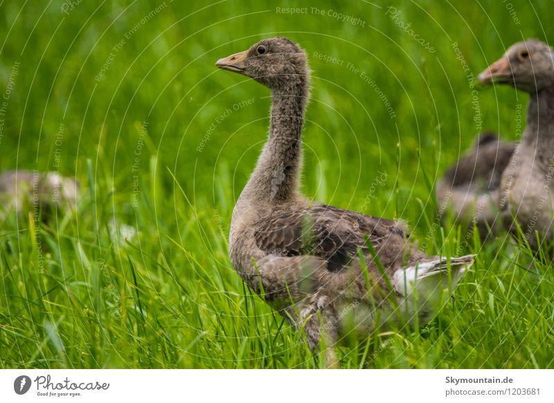 Junge Graugänse Natur Pflanze Landschaft Freude Tier Umwelt Tierjunges Wiese Gras Denken Freiheit See Vogel Feld Wildtier beobachten