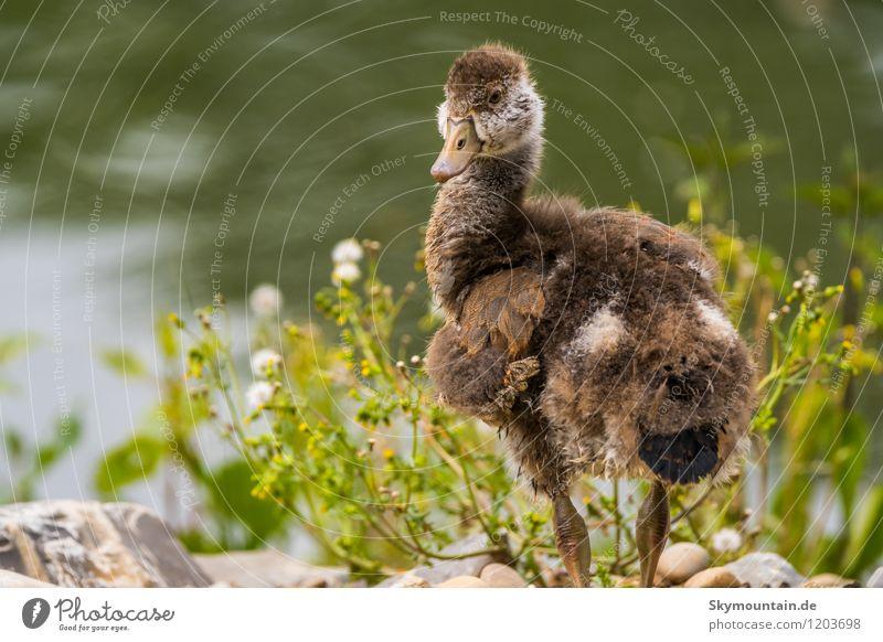 Nilgans Jungvogel Umwelt Natur Landschaft Pflanze Tier Frühling Sommer Feld Seeufer Flussufer Wildtier Vogel Tiergesicht Flügel 1 Tierjunges frech klein braun
