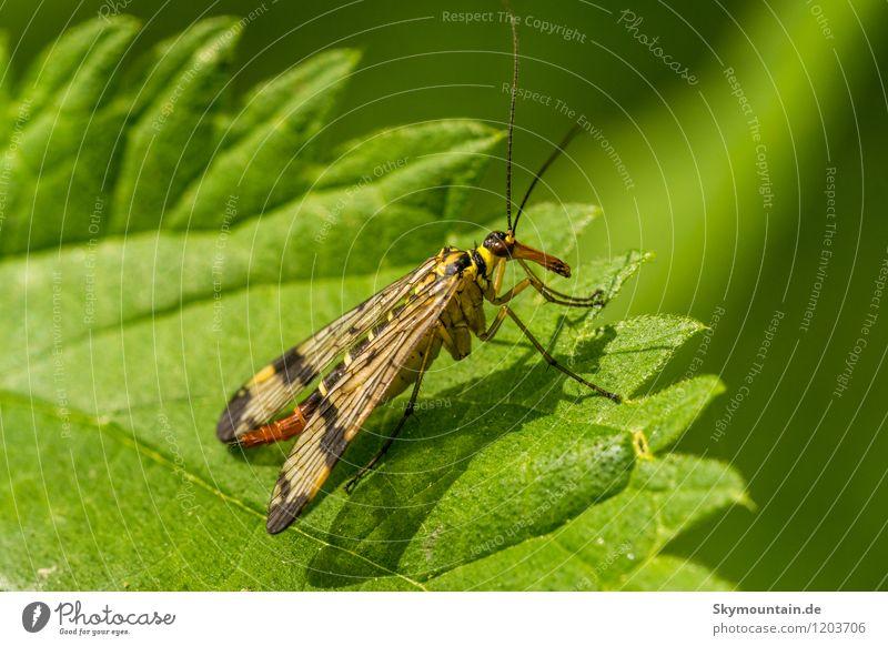 Skorpionsfliege (Panorpa vulgaris) Umwelt Natur Pflanze Tier Blatt Garten Park Wiese Feld Wald Wildtier Flügel Insekt 1 beobachten entdecken Erholung hocken