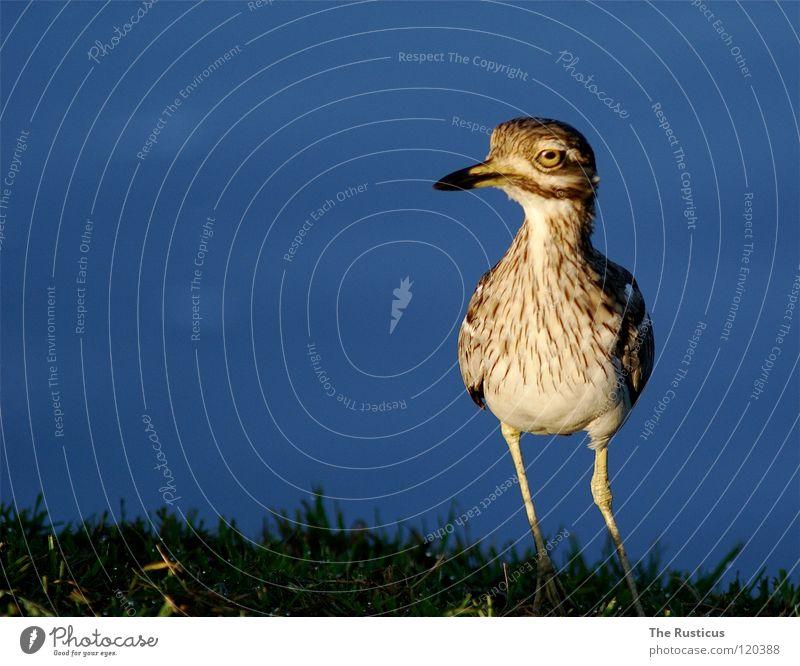 Ich habe einen Vogel Natur Wasser grün blau Auge dunkel Gras Küste braun Vogel groß Wildtier Fluss Afrika erleuchten scheckig