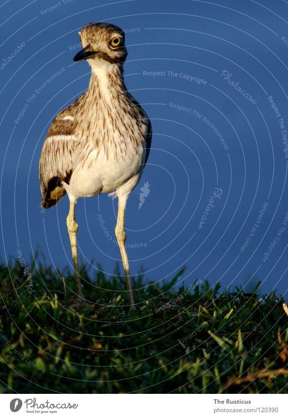 Ich habe noch einen Vogel Natur Wasser grün blau Auge dunkel Gras braun Vogel Küste groß Fluss Afrika Wildtier erleuchten scheckig