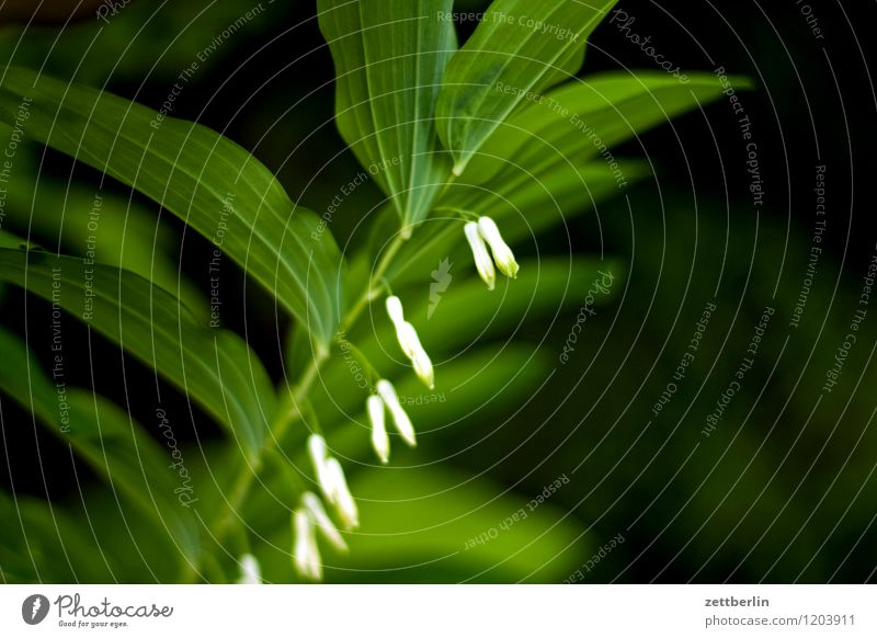 Salomonsiegel, leicht unscharf Natur Pflanze Blume Blatt dunkel Blüte Garten Blühend Schrebergarten Gift Heilpflanzen Salomonssiegel Vielblütiger Weißwurz