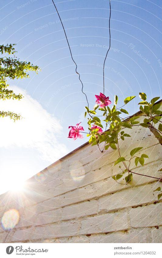 Klematis Blume Blüte Garten Schrebergarten Natur Pflanze Clematis Waldrebe Ranke Kletterpflanzen Mauer Himmel Sonne Gegenlicht Licht grell hell