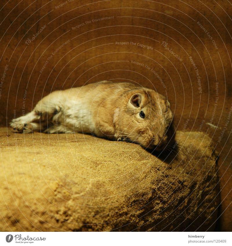 lazy larry Tier Haustier Fell Zoo ruhig schlafen Nagetiere Säugetier Stein Langeweile Maus springmaus Wüste bequem animal animals kleintier