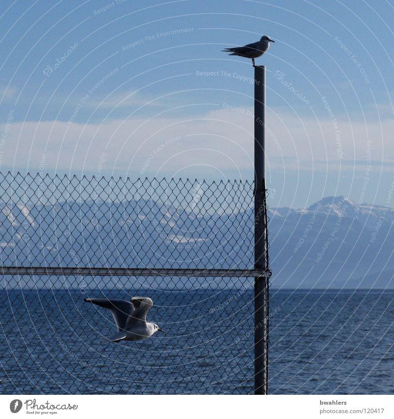 grenzenlos Möwe See Zaun Wolken Wellen Vogel Wasser Himmel Bodensee blau Berge u. Gebirge Alpen fliegen Pfosten
