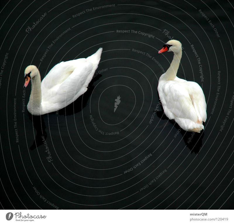 love story Schwan weiß dunkel See Liebe Schnabel Wasser ruhig Teich Romantik was verkuppeln Flirten Treue Symbole & Metaphern Yin und Yang Vogel rot Feder