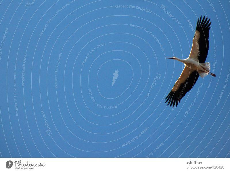 Adebar Himmel blau Vogel fliegen Luftverkehr Umweltschutz Storch gleiten Spannweite Kunstflug Zugvogel Elsass Weißstorch
