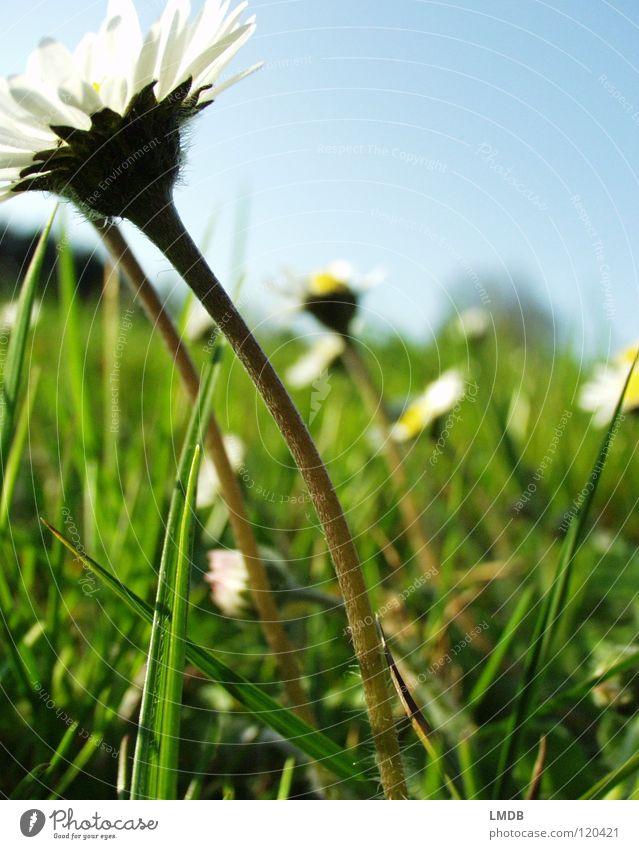 Der Sonne entgegen! Natur Himmel weiß Blume Pflanze gelb Wiese Blüte Gras Frühling Glück Wärme Feld Fröhlichkeit Rasen Physik