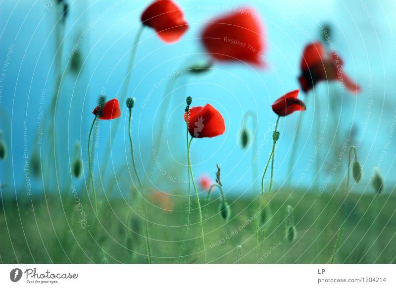 Mohn Umwelt Natur Landschaft Pflanze Urelemente Luft Erde Himmel Frühling Sommer Klima Schönes Wetter Blume Gras Blatt Blüte Mohnblüte einfach frisch schön