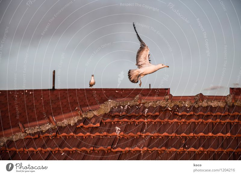 … und Abflug! Himmel Wolken Gewitterwolken Frühling Sommer Herbst Wetter schlechtes Wetter Altstadt Haus Bauwerk Dach Schornstein Dachziegel Tier Wildtier Vogel