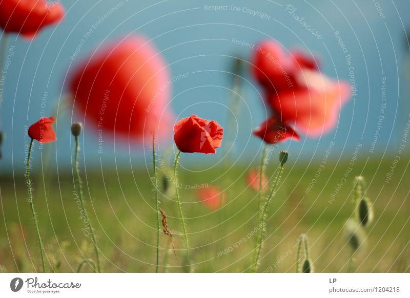 1. Juni Umwelt Natur Landschaft Pflanze Urelemente Himmel Frühling Sommer Schönes Wetter Blume Gras Mohn Garten Park Wiese Feld schön einzigartig Wärme feminin