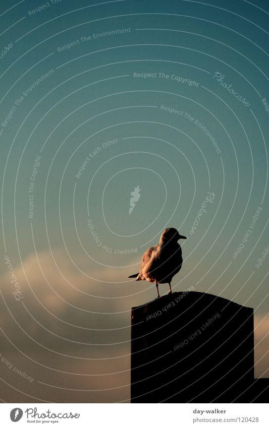 Der letzte Mohikaner Vogel Möwe Tier Schweben Anlegestelle Zaun Holz Sonnenuntergang Dämmerung Schnabel Feder Wolken türkis grün rot gelb weiß schön Himmel