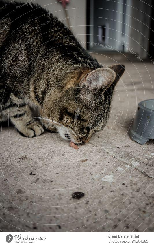 Die Unersättlichkeit des Katzentieres Tier Haustier Tiergesicht Fell Pfote 1 Essen Fressen natürlich feminin braun grau Appetit & Hunger Durst genießen