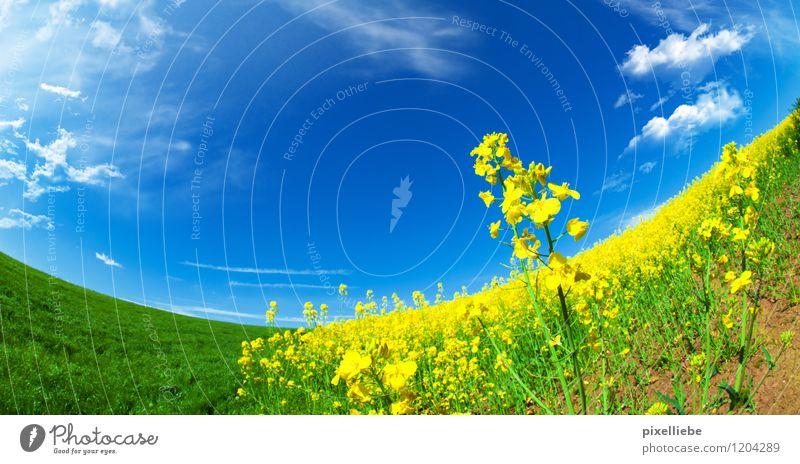 Rapsfeld harmonisch Ausflug Sommer Sonne Garten Gartenarbeit Landwirtschaft Forstwirtschaft Natur Landschaft Pflanze Himmel Wolken Sonnenlicht Frühling