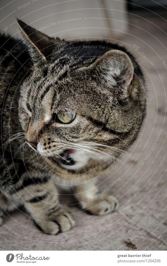 Mein Futter, meine Beute Tier Haustier Katze Fell 1 Stein beobachten Essen Aggression bedrohlich frech braun grau Ärger gereizt Feindseligkeit Auge Farbfoto