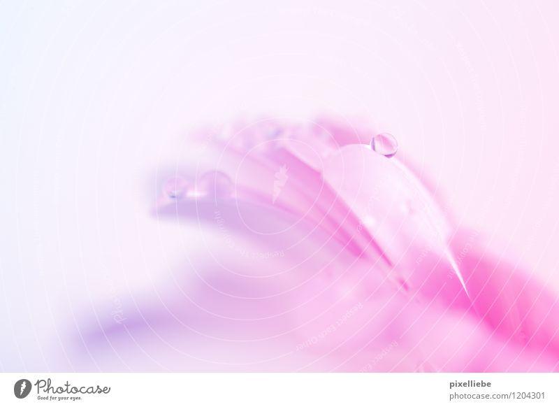 Rosa Blütentropfen elegant Gartenarbeit Natur Pflanze Wassertropfen Frühling Sommer Blume Blatt Wiese Blumenstrauß nass natürlich Gerbera rosa Farbverlauf hell