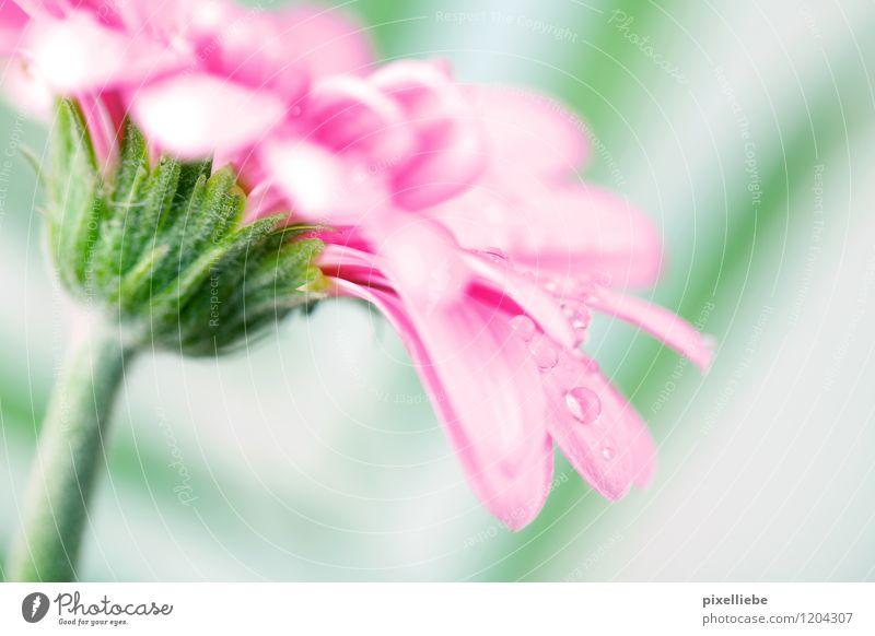 Pink Gerbera mit Wassertropfen Garten Gartenarbeit Natur Pflanze Frühling Sommer Regen Blume Blüte Wiese Blumenstrauß Blühend hell nass natürlich grün rosa Farn
