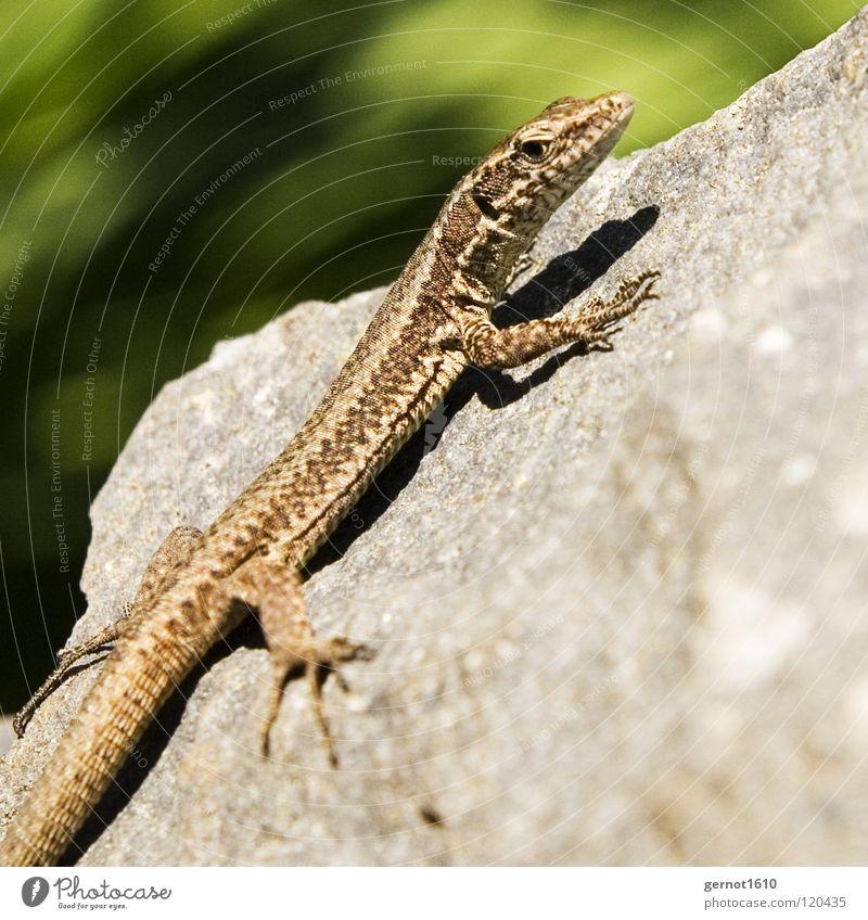 Despot Echsen Echte Eidechsen braun Neugier Reptil Tier bestrahlen Licht fangen Strahlung Krallen Sommer blau Stein Klettern Sonne Scheune Wärme Frittieren