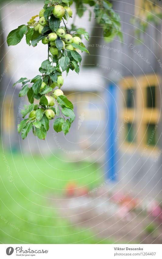 Apfelbaumast mit Äpfeln am Haus mit gelbem Fenster Natur Pflanze grün Sommer Baum rot Blatt Herbst natürlich Garten Frucht Regen frisch Jahreszeiten