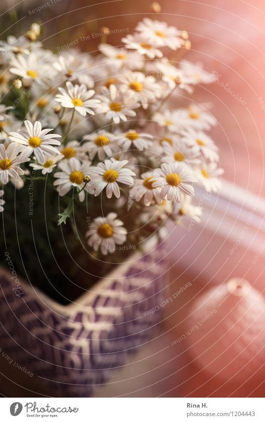 FensterStill mit Margeriten Garten Blühend Stillleben Fenstersims Vase Autofenster Farbfoto Innenaufnahme Nahaufnahme Menschenleer Lichterscheinung