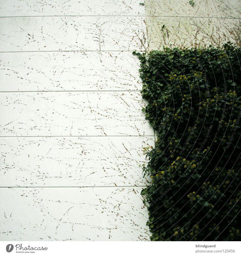 ePfui Efeu Ranke Pflanze Mauer Wand Wachstum streichen Rest gehen Quadrat graphisch Beton Tapete Blatt grau weiß trist Haus Araliengwächs Kletterpflanzen Feld