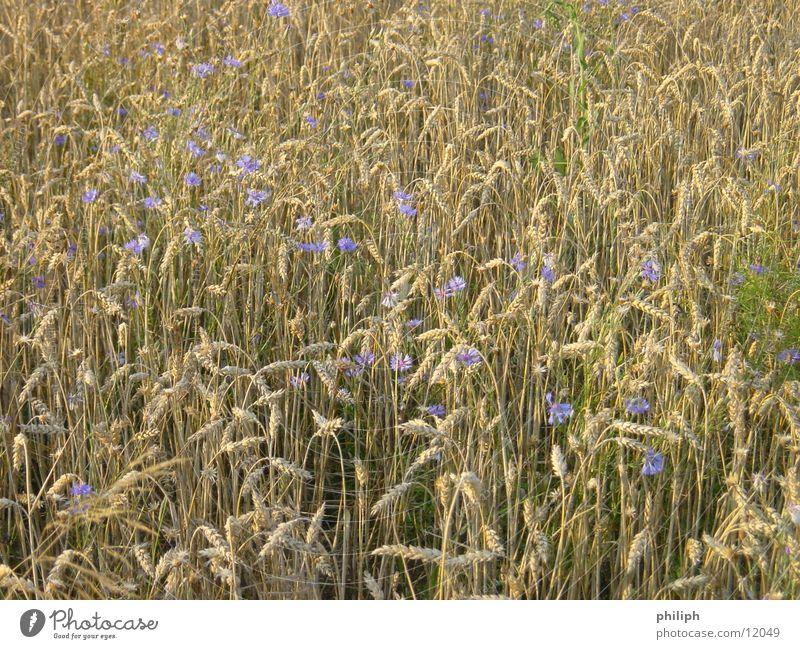 KornBlumenFeld Blume Feld Korn Gerste