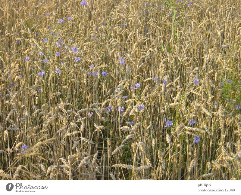 KornBlumenFeld Gerste field corn