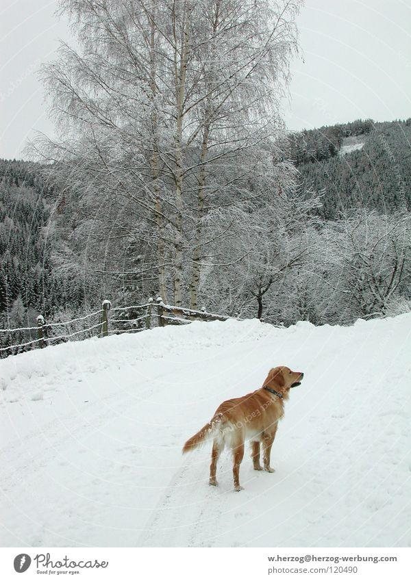Hund im Winter1 Wald Golden Retriever Freizeit & Hobby Tier Säugetier Schnee Berge u. Gebirge
