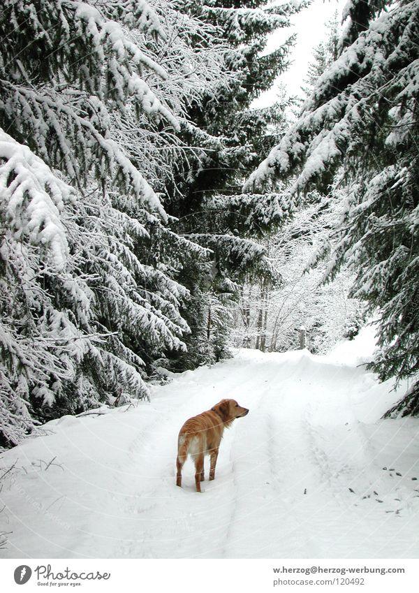 Hund im Winterwald Wald Schnee Frost Spaziergang Golden Retriever