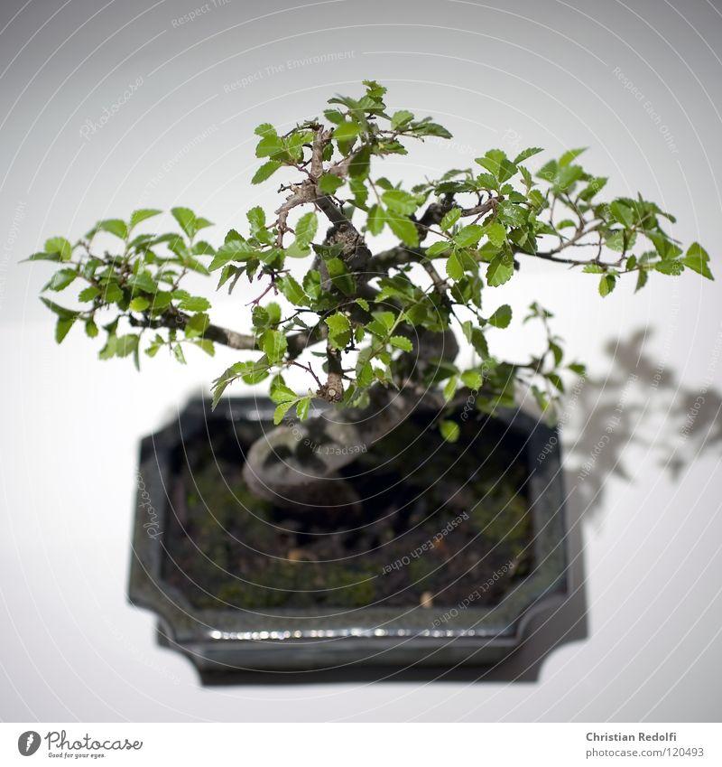 Bonsai Asien Baum China Japan harmonisch Miniatur Schatten Baum in Schale Schalen & Schüsseln Bonsai Schale Zwergbaum Sstamm Baumstamm ?stamm Zen-Kultur