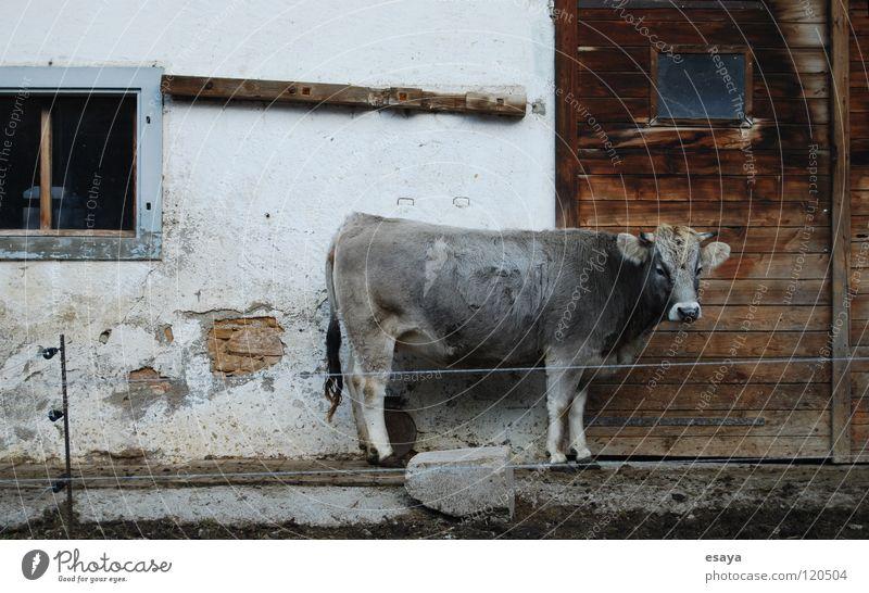 Kuhprofil Stall Bauernhof Rind Landleben Trauer Einsamkeit grau Schweiz