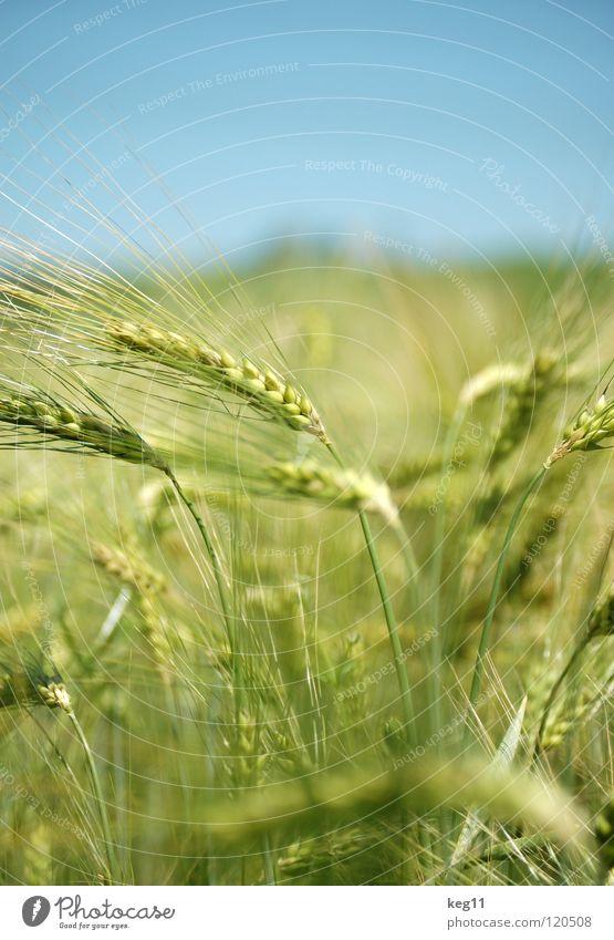 Stürmisches Gerstenfeld II Weizen Roggen Blume grün Gras Freizeit & Hobby beige braun nah Sommer Wiese Feld Halm Ähren weiß Mehl Korn ruhig Getreide Pflanze