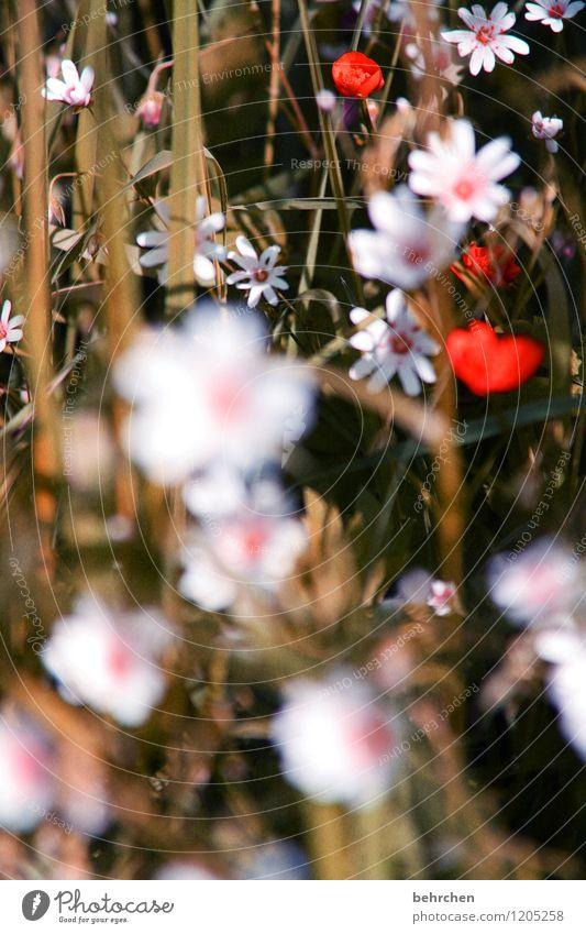 farbklecks Natur Pflanze Frühling Sommer Herbst Schönes Wetter Blume Gras Blatt Blüte sternmiere Garten Park Wiese Feld Blühend Duft verblüht Wachstum frisch