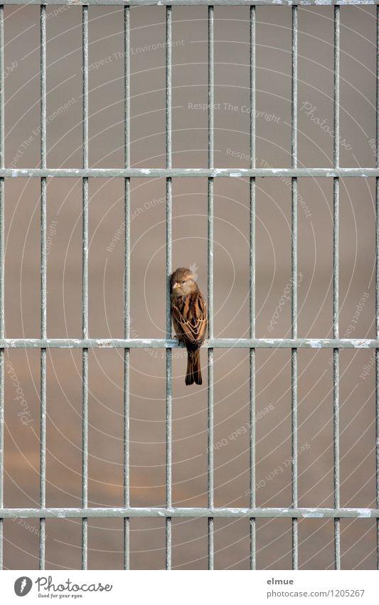 Sper(r)ling Metallzaun Vogel Spatz Blick sitzen warten frei Neugier niedlich braun grau Angst gefährlich Stress Einsamkeit entdecken Erwartung bedrohlich